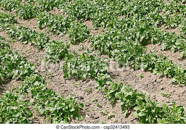 Potato rows in garden - csp32413493
