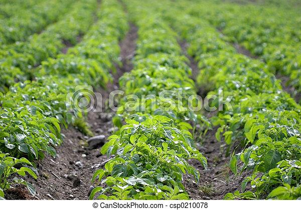 Potato Rows - csp0210078