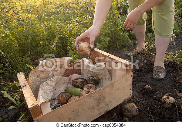 Potatoes - csp6054384