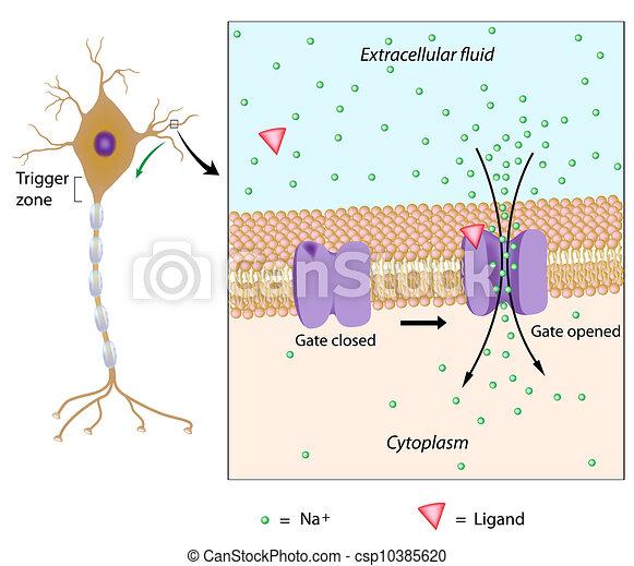 potentiel, eps10, local, neurone - csp10385620