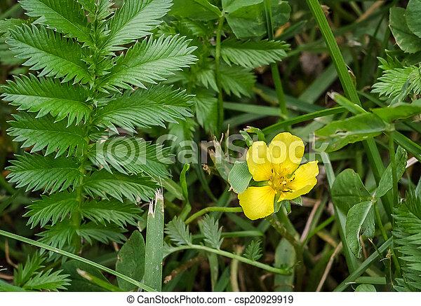 Silverweed potentilla anserina leaf and yellow flower mightylinksfo