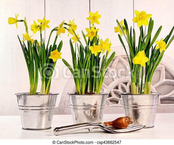 Pots of daffodils on table - csp43662547