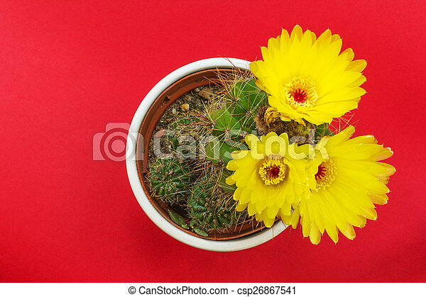 Potted cactus with yellow flowers on red background potted cactus with yellow flowers on red background csp26867541 mightylinksfo