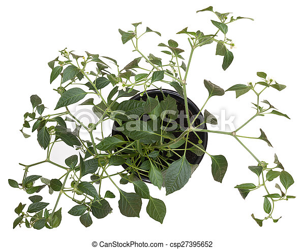 Potted hot pepper jalapeno plant gr - csp27395652