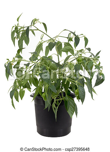 Potted hot pepper jalapeno plant gr - csp27395648