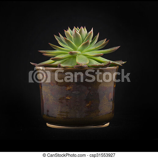 Potted succulent isolated - csp31553927