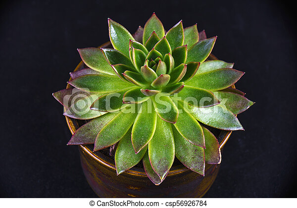 Potted succulent plant isolated on black - csp56926784