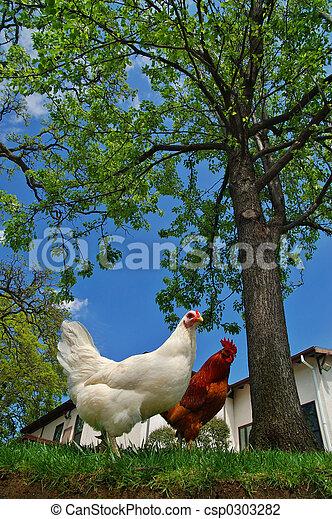 poule, coq - csp0303282