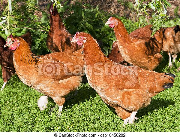 poules - csp10456202