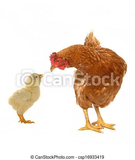 poules - csp16933419