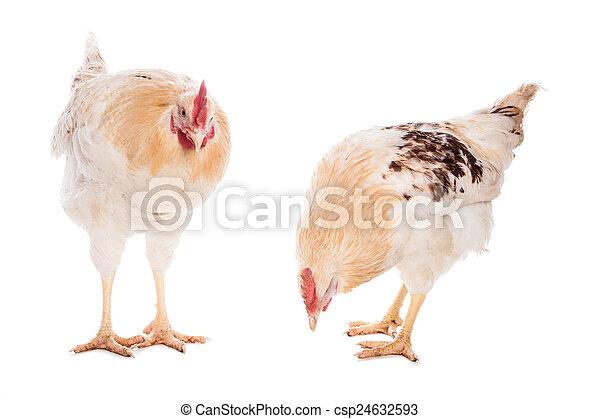 poulet, coq - csp24632593