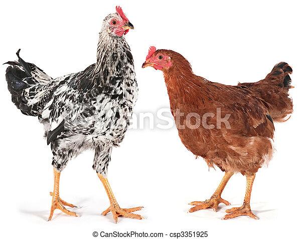 poulet, jeune, coq - csp3351925