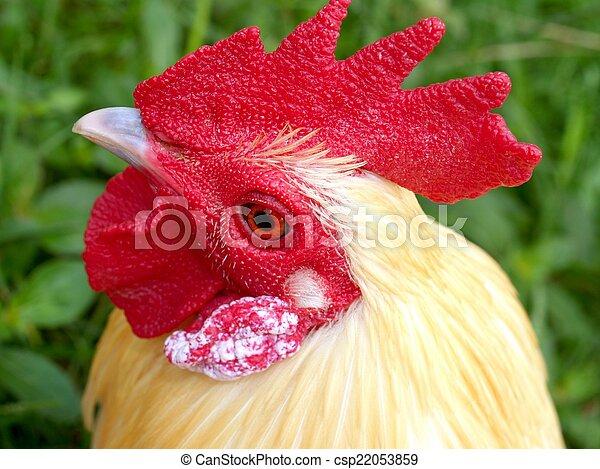 poulets - csp22053859