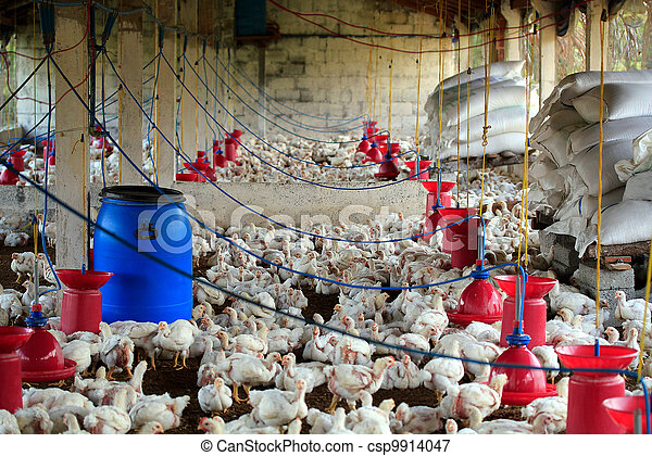 Poultry farm with many domesticated hen(fowl) being grown for their chicken meat, feathers and eggs - csp9914047