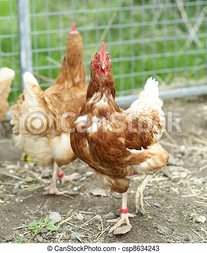 Poultry - csp8634243