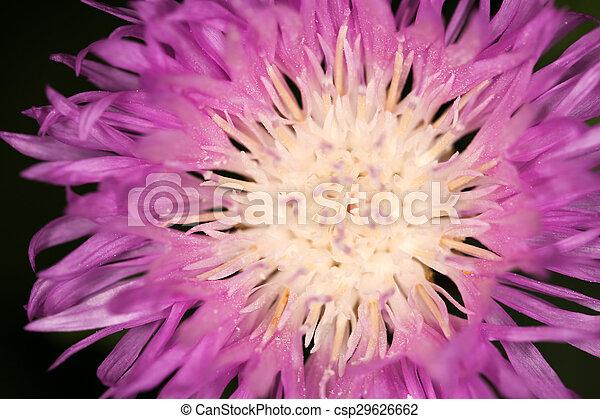 pourpre, arrière-plan., fleur, noir, fin - csp29626662