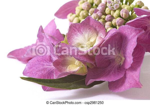 pourpre, hortensia - csp2981250