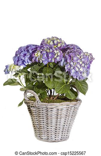 pourpre, hortensia, fleurir pot - csp15225567