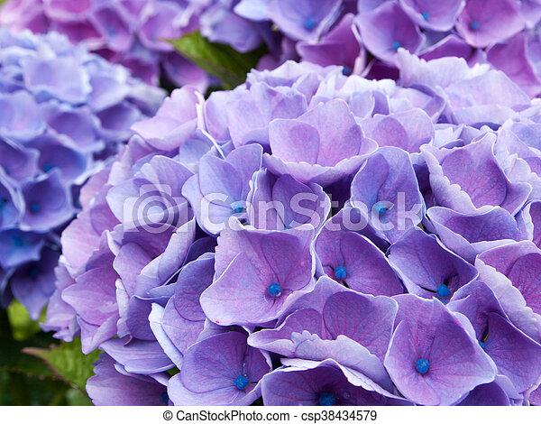 pourpre, hortensia - csp38434579
