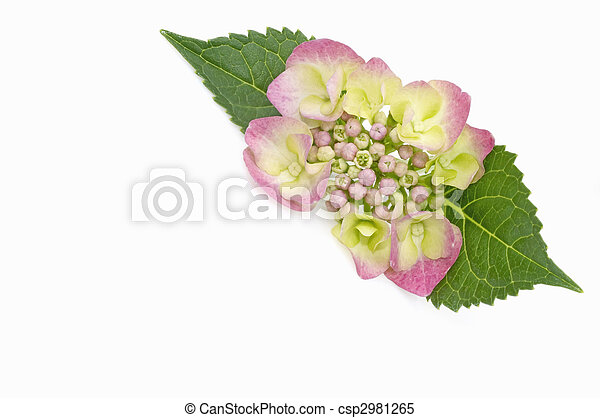 pourpre, hortensia - csp2981265
