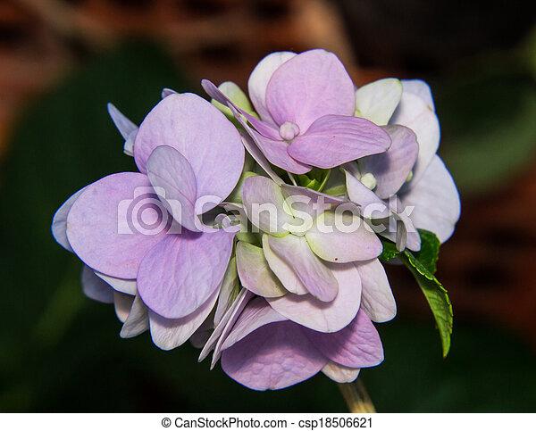 pourpre, hortensia - csp18506621