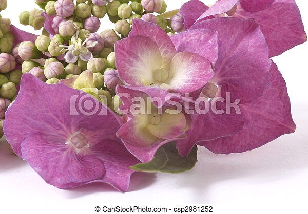 pourpre, hortensia - csp2981252