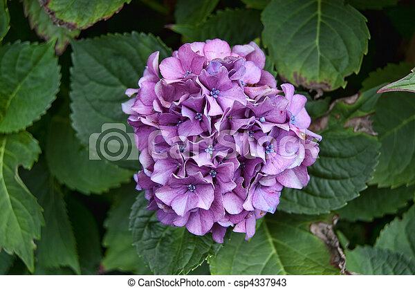 pourpre, hortensia - csp4337943