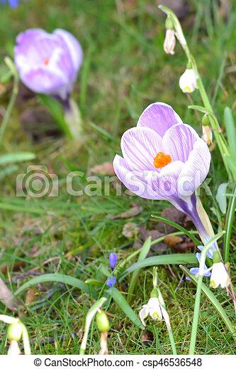 pourpre, jardin, colchique - csp46536548