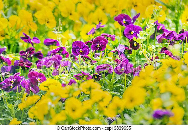 pourpre, pensée, fleurs - csp13839635
