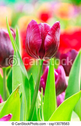 pourpre, tulipe - csp13078563