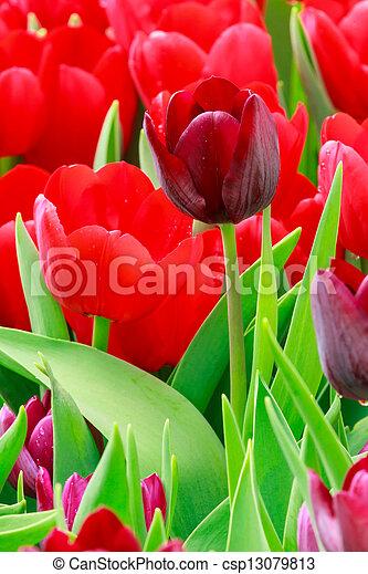 pourpre, tulipe - csp13079813
