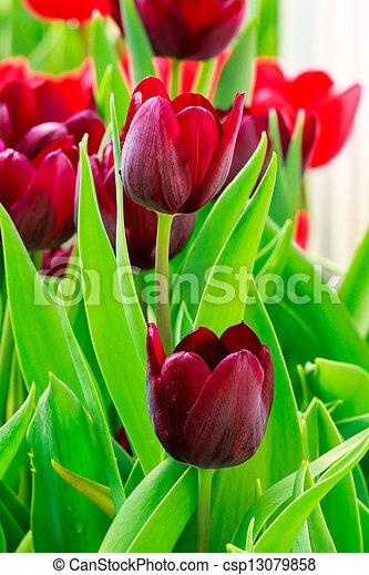 pourpre, tulipe - csp13079858