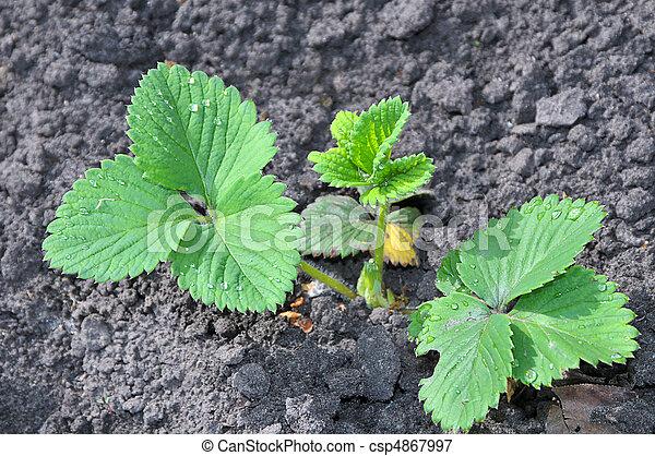 pousse vert jeune fraise jardin pousse jeune lit fraise l gume vert. Black Bedroom Furniture Sets. Home Design Ideas