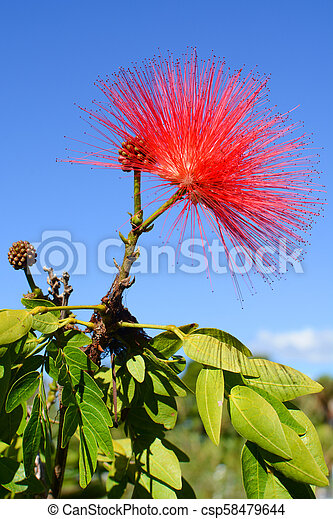 Powder puff plant with delicate red flower, known by the scientific name of  calliandra