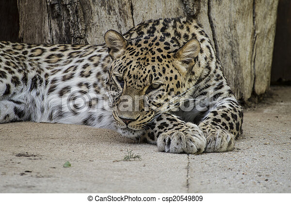 Powerful leopard resting, wildlife mammal with spot skin - csp20549809