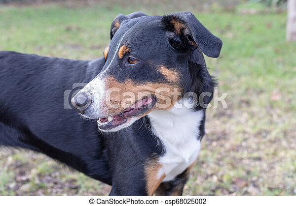 Ppenzeller Sennenhund The Dog Is Standing In The Park On The Winter Portrait Of A Appenzeller Mountain Dog