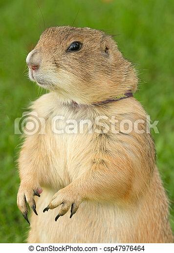 Prairie Dog standing in Green Grass - csp47976464