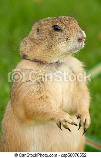 Prairie Dog standing in Green Grass - csp50076552