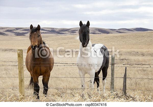 Prairie Horses Saskatchewan - csp80347416