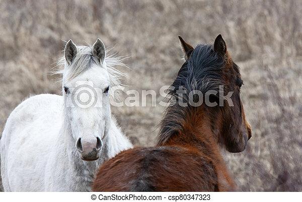 Prairie Horses Saskatchewan - csp80347323
