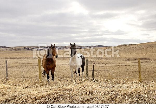 Prairie Horses Saskatchewan - csp80347427