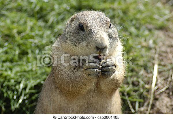 prairie marmot - csp0001405