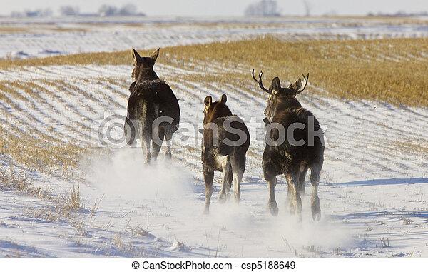 Prairie Moose Saskatchewan - csp5188649