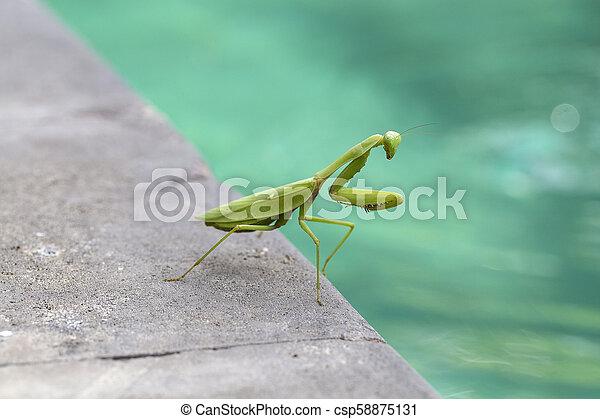 Praying mantis, mantis religiosa , close up. Bali, Indonesia - csp58875131