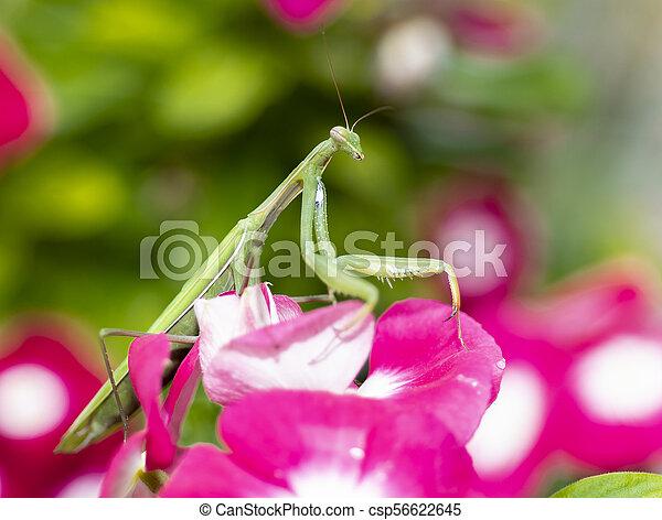 Praying Mantis on Vinca Flower - csp56622645