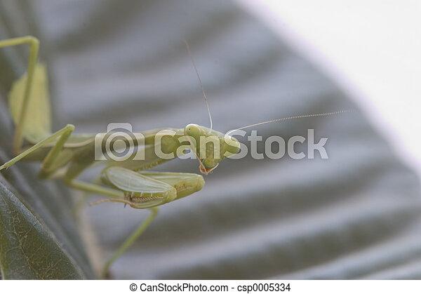 Praying Mantis - csp0005334