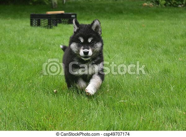 Precious Alusky Puppy Dog Running In A Yard Cute Alusky Puppy Dog
