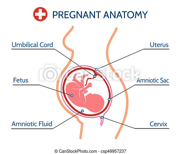 Pregnancy anatomy medical illustration. Pregnancy pregnant anatomy ...