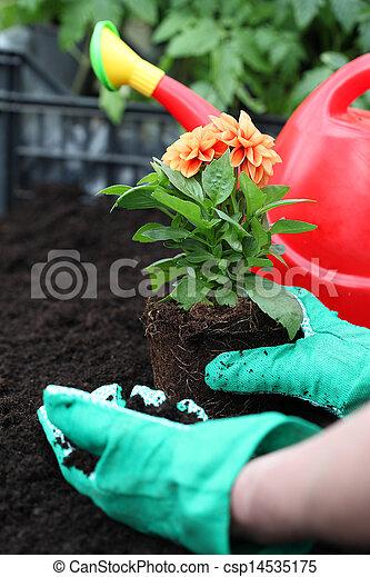 Preparing dahlia for planting - csp14535175