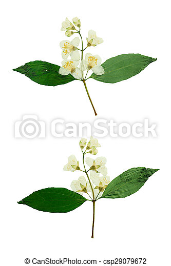 Pressed and Dried flower Jasmine. Isolated on white background. - csp29079672